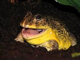 žaba Borz