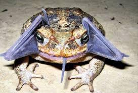 žaba Ivana radojević