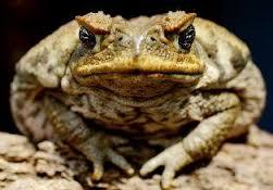 žaba ana