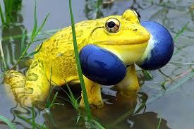 žaba bogi