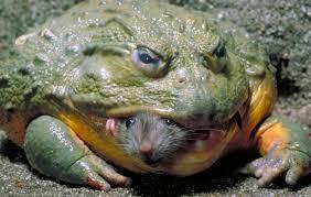 žaba cane