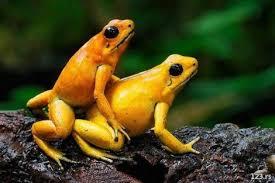 žabe filip sakija